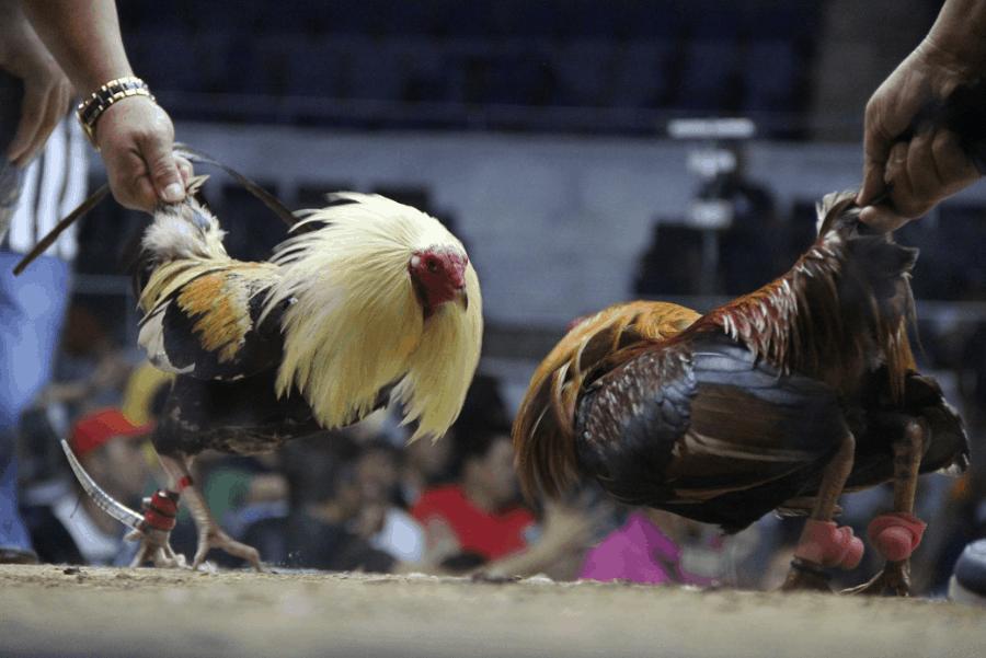 Chiến thắng đá gà online với các chiến thuật cược hiệu quả