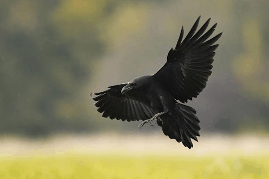 Bí ẩn giấc mơ thấy quạ đen và con số lô đề chuẩn?
